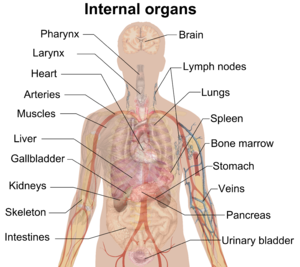 300px-Internal_organs